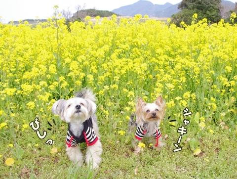 魚ヶ﨑 菜の花⑩