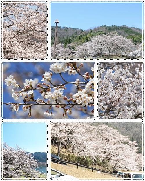 土師ダムの桜