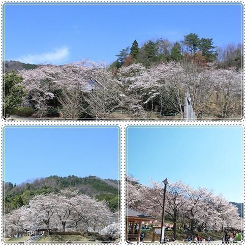 土師ダムの桜☆