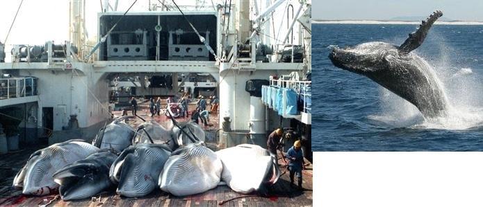 南極海で捕獲されたミンククジラ