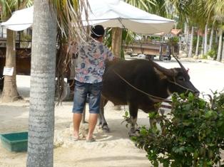 09息子達の石垣観光:竹富島;水牛車観光