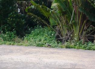 16息子達の石垣観光:豆腐の比嘉;ハラジロクイナ1