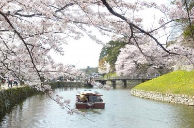 彦根城桜4