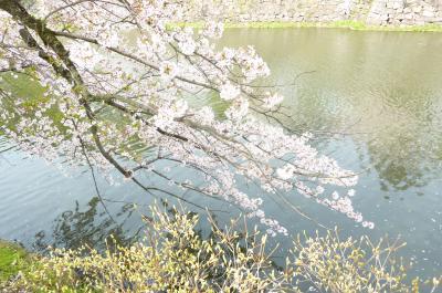 彦根城桜6