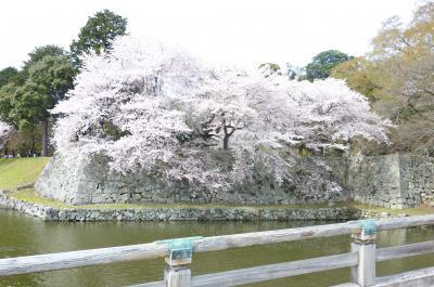 彦根城桜5
