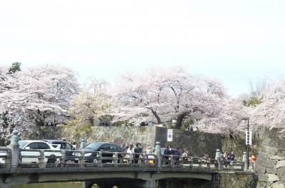 彦根城桜7