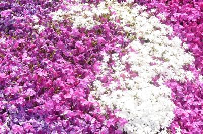 芝桜の里4