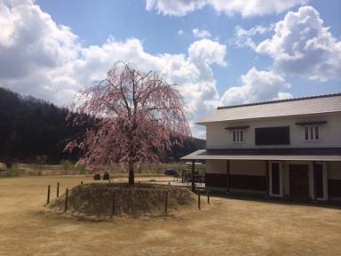 h26 しだれ桜