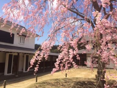 H26 しだれ桜2