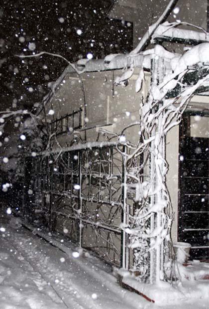 雪国東京のつるバラ (4)