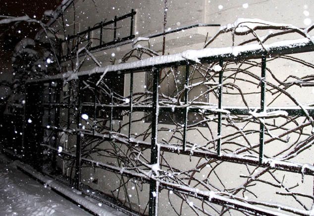 雪国東京のつるバラ (5)