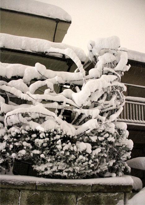 雪国東京のつるバラ (9)