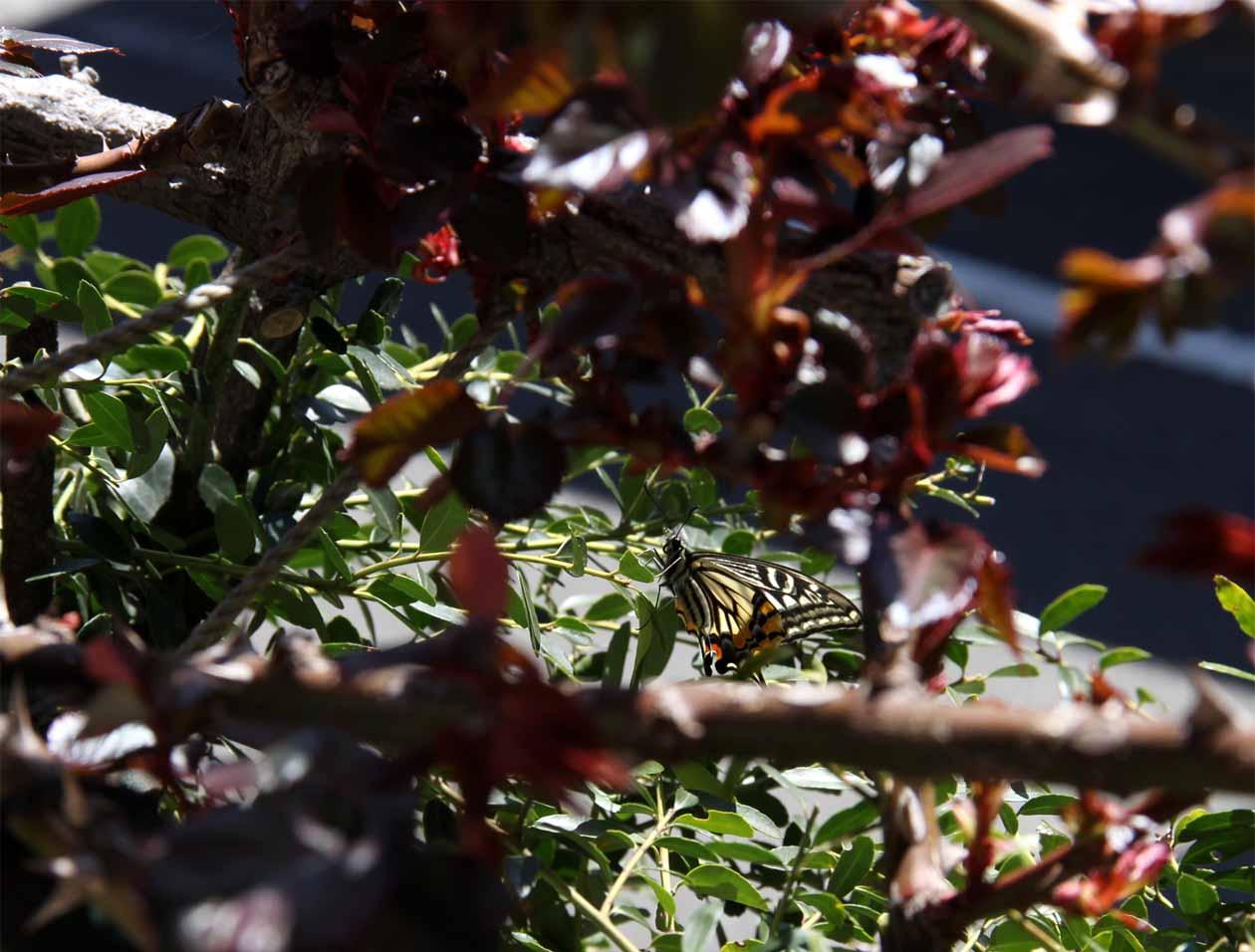 バラの新芽とアゲハチョウ(2)