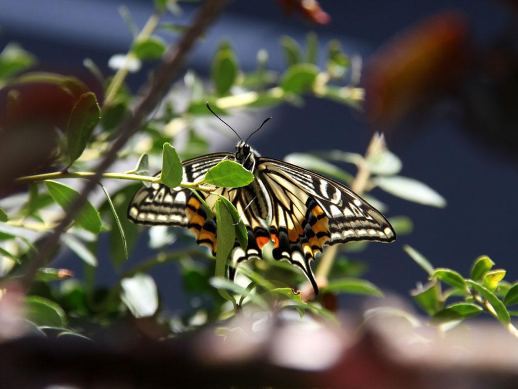 バラの新芽とアゲハチョウ(3)