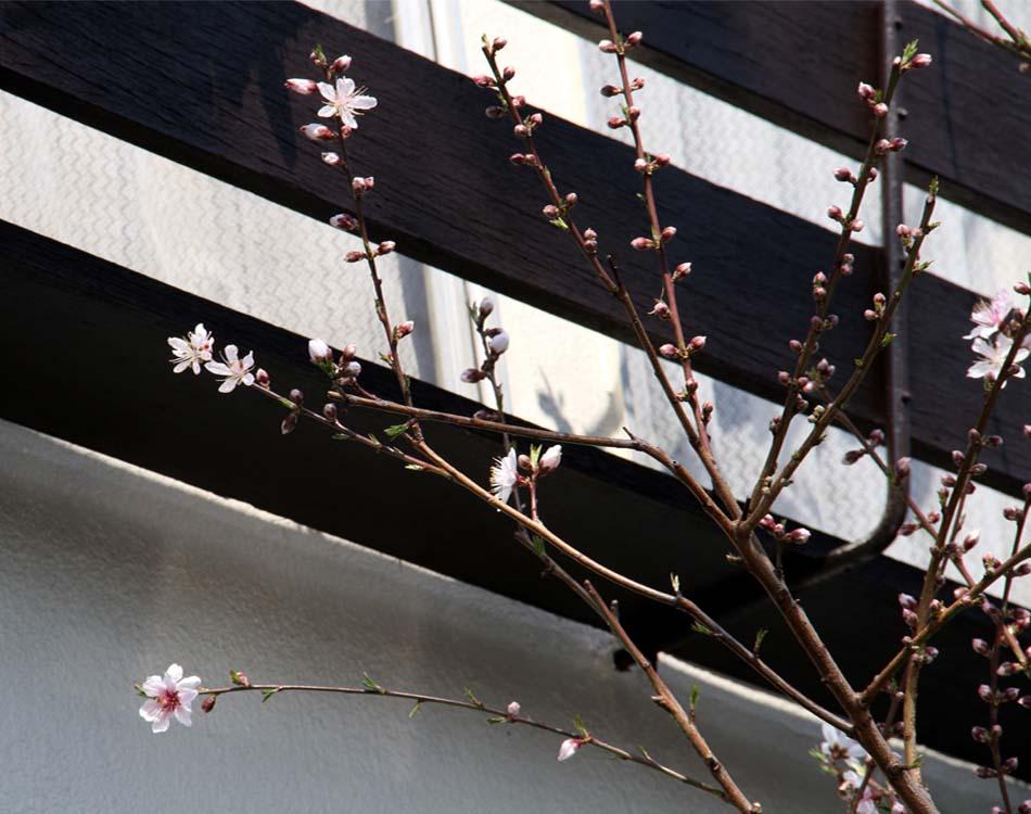 桃開花(1)