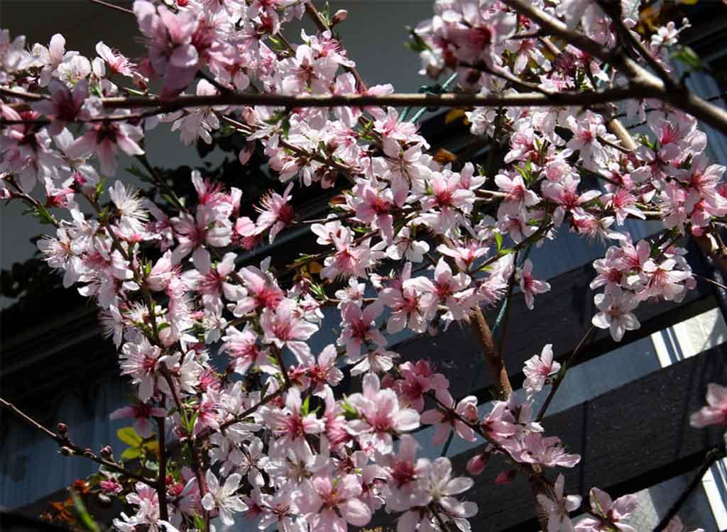 桃の花とバラ (1)