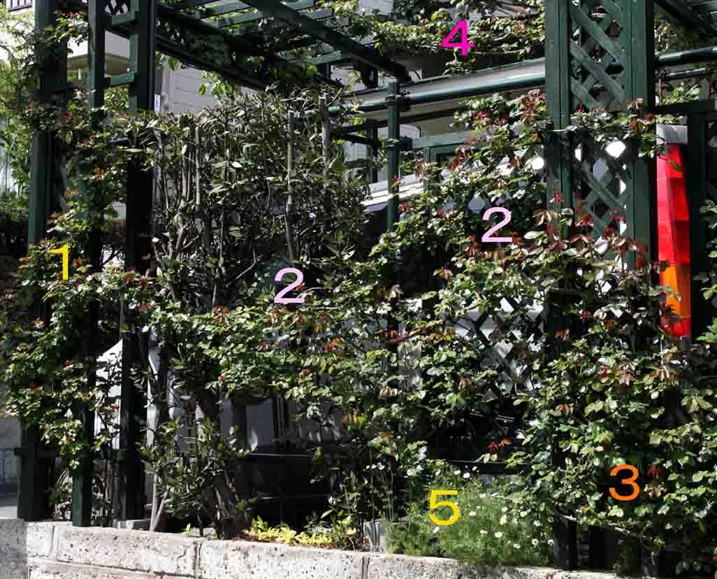 開花前のバラ模様 0412(4)