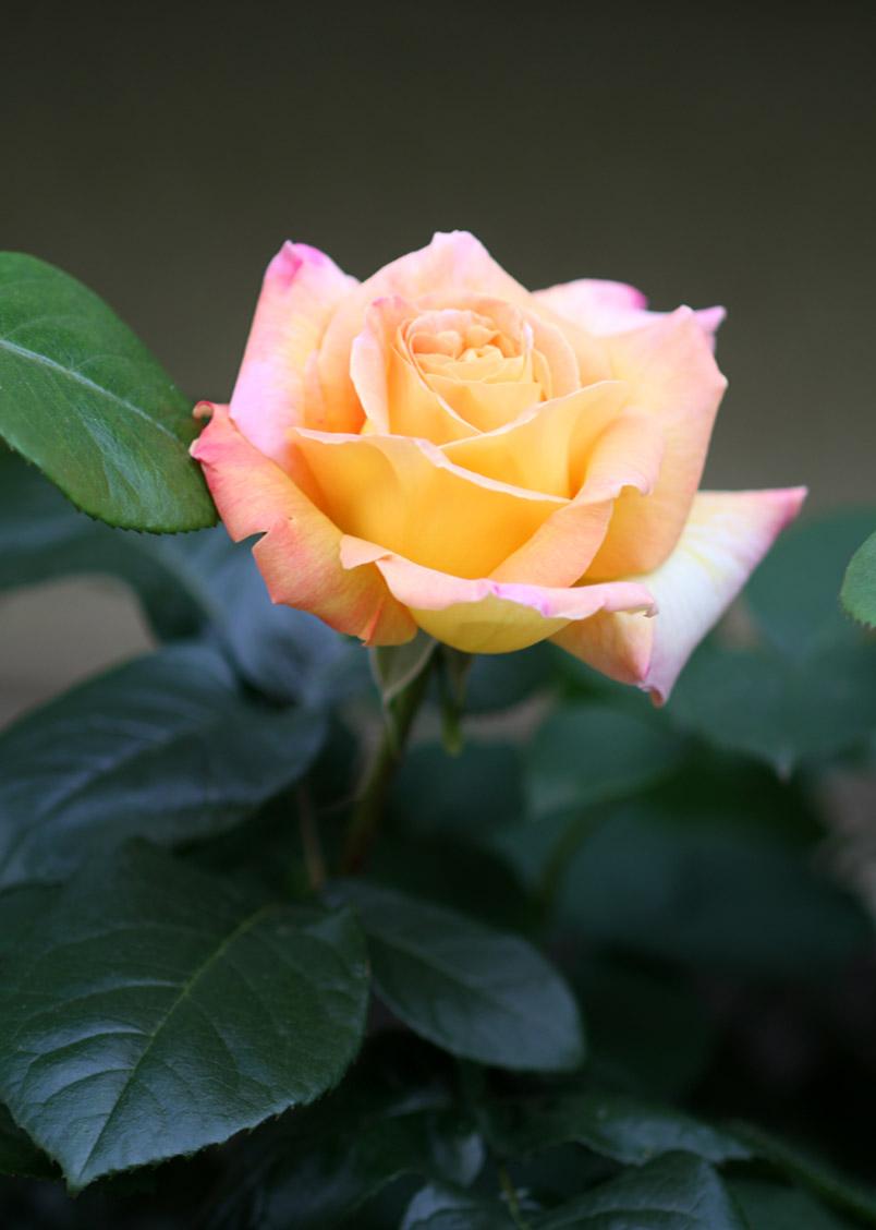 開花一番花 ピース 0429