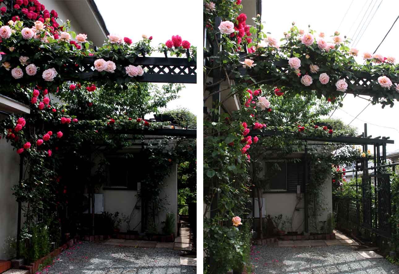 7日~8日のバラ模様(2)