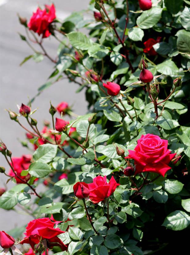 7日~8日のバラ模様(4)