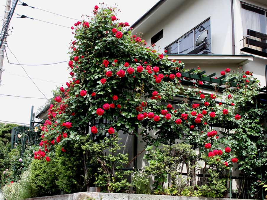 7日~8日のバラ模様(8)