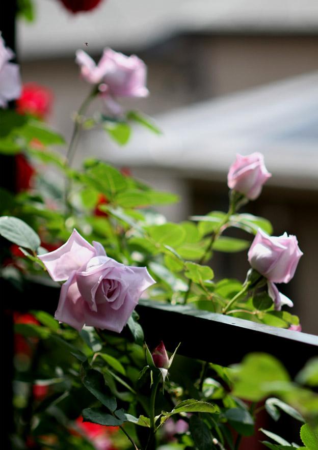 7日~8日のバラ模様(10)