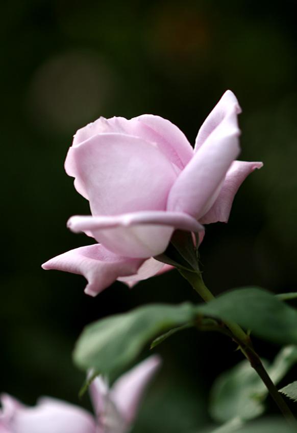 7日~8日のバラ模様(11)