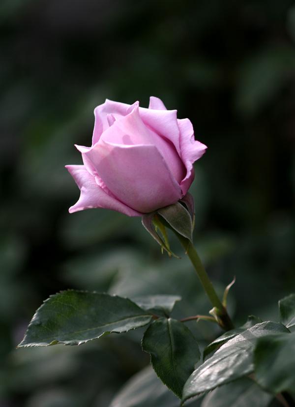 7日~8日のバラ模様(12)