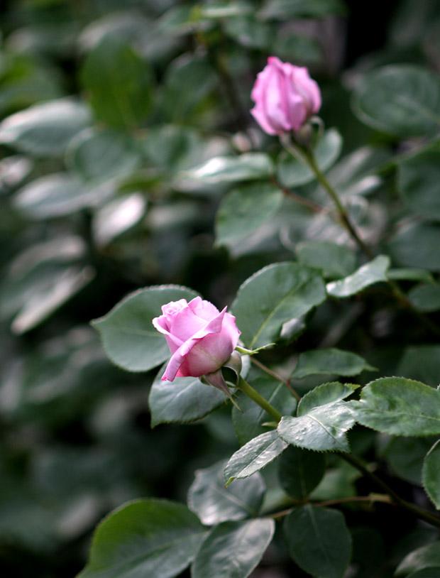 7日~8日のバラ模様(13)