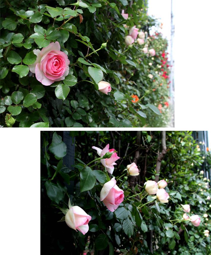 7日~8日のバラ模様(14)