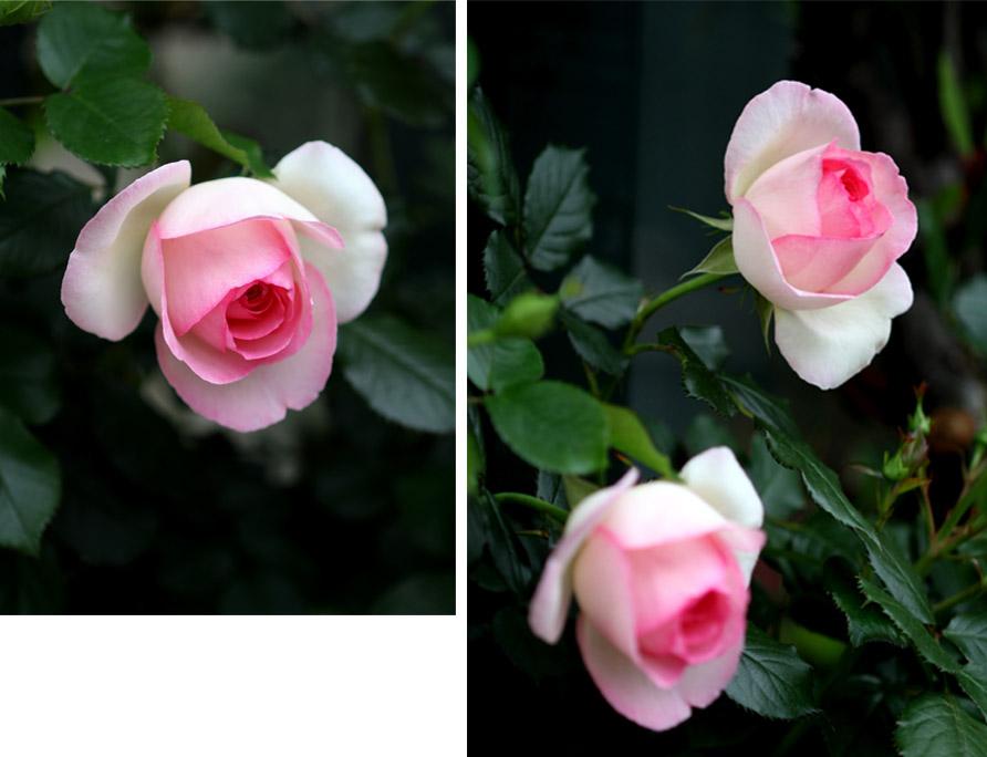 7日~8日のバラ模様(15)