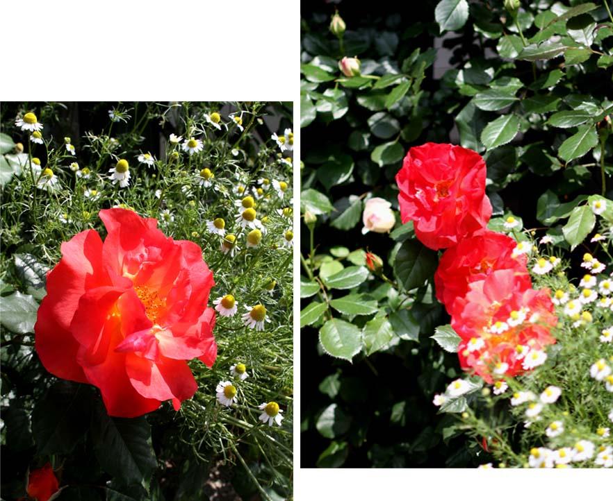 7日~8日のバラ模様(17)