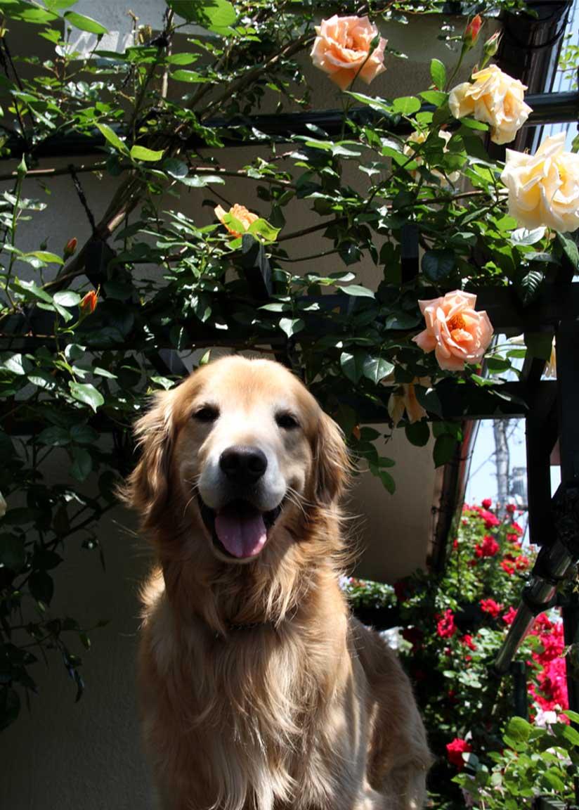 犬とバラの日々(2) 0510