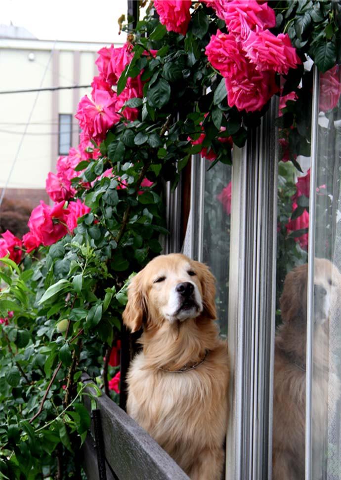 犬とバラの日々(3) 0514