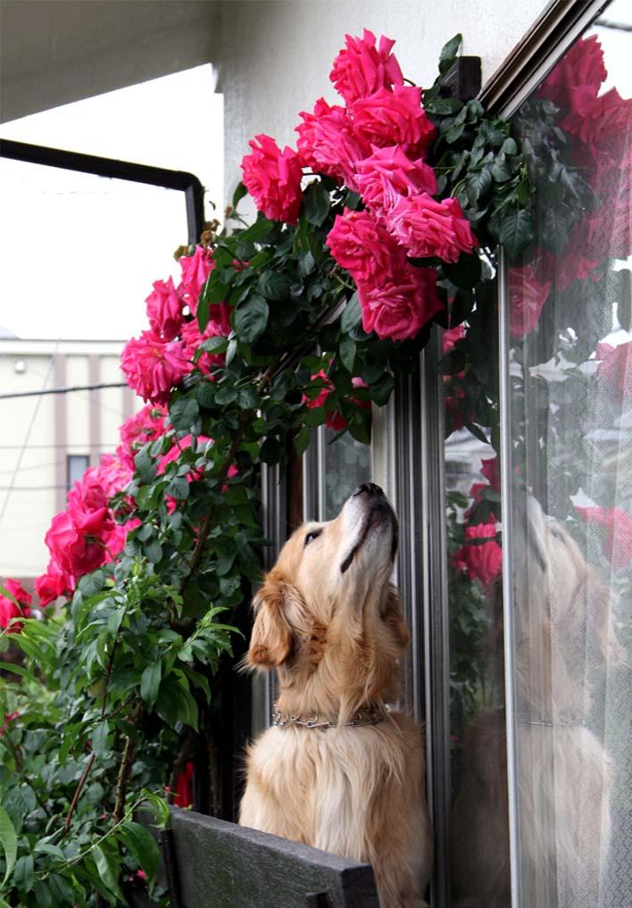 犬とバラの日々(4) 0514