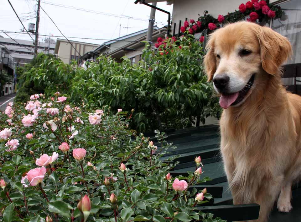 犬とバラの日々(9) 0514