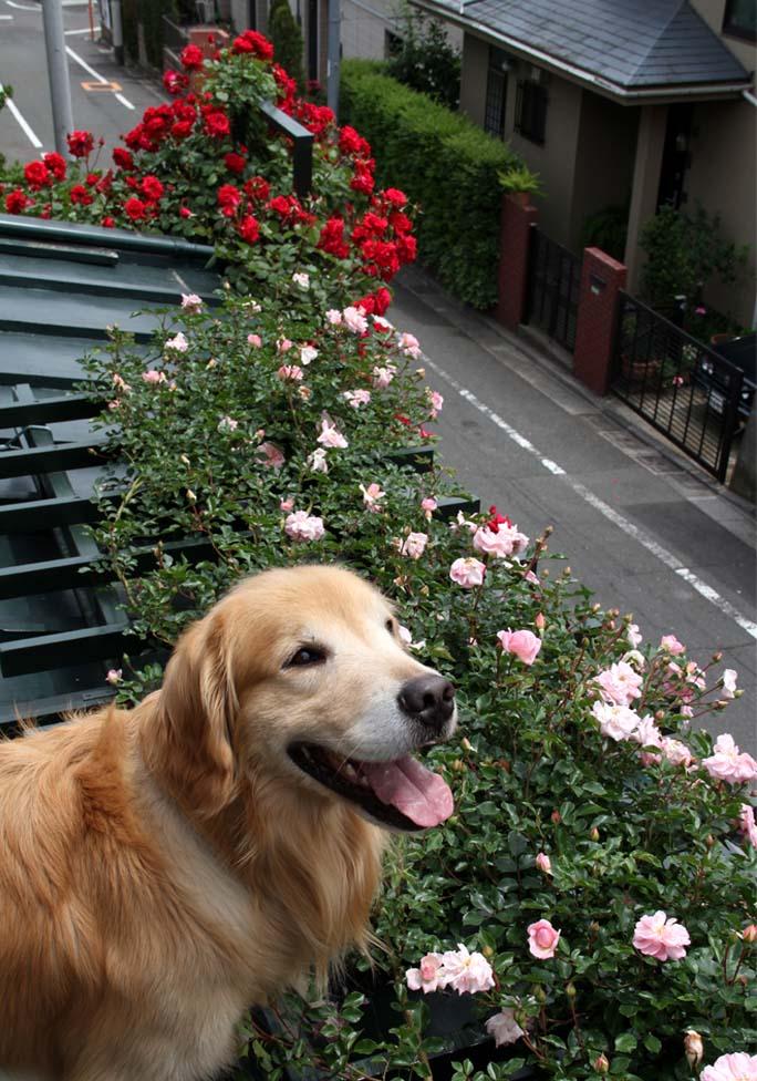 犬とバラの日々(10) 0514