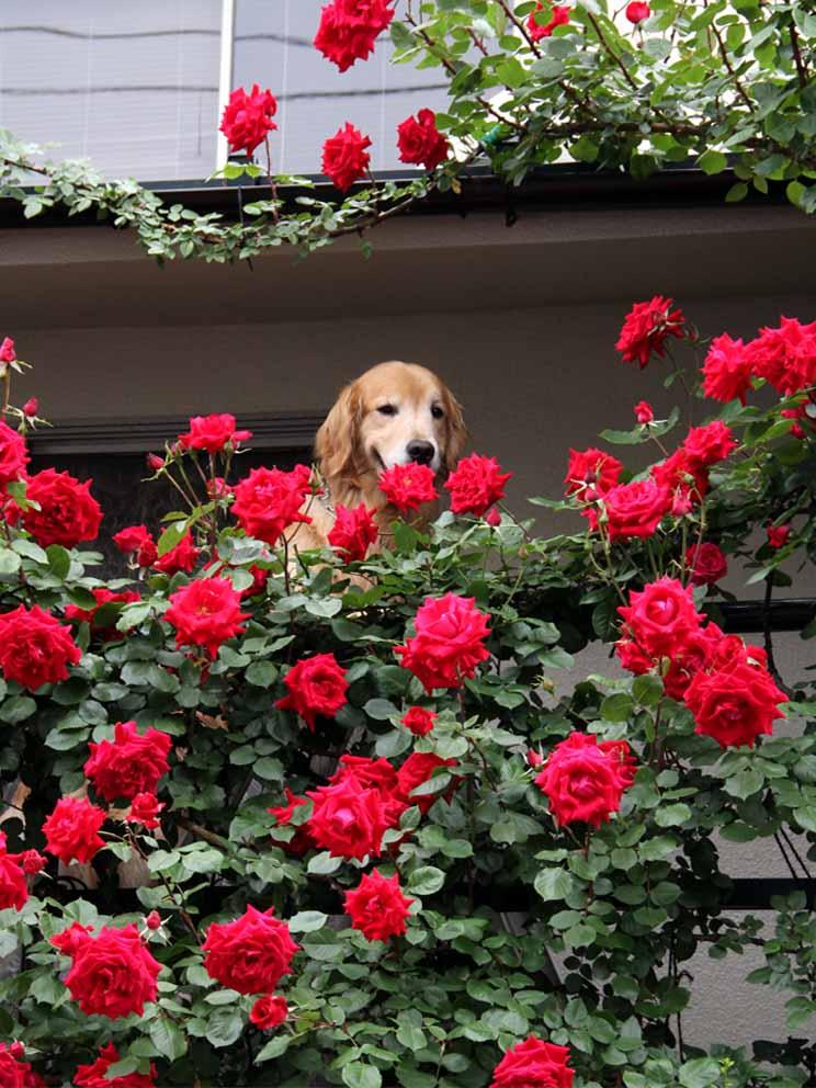 犬とバラの日々(11) 0514