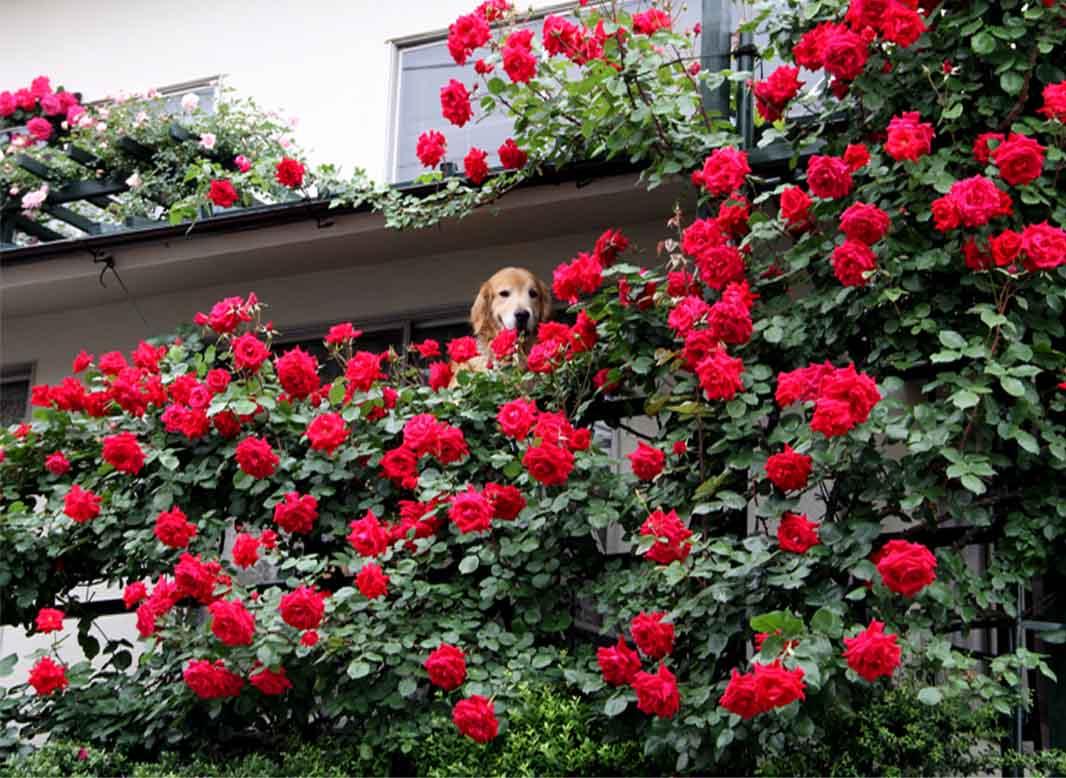 犬とバラの日々(13) 0514