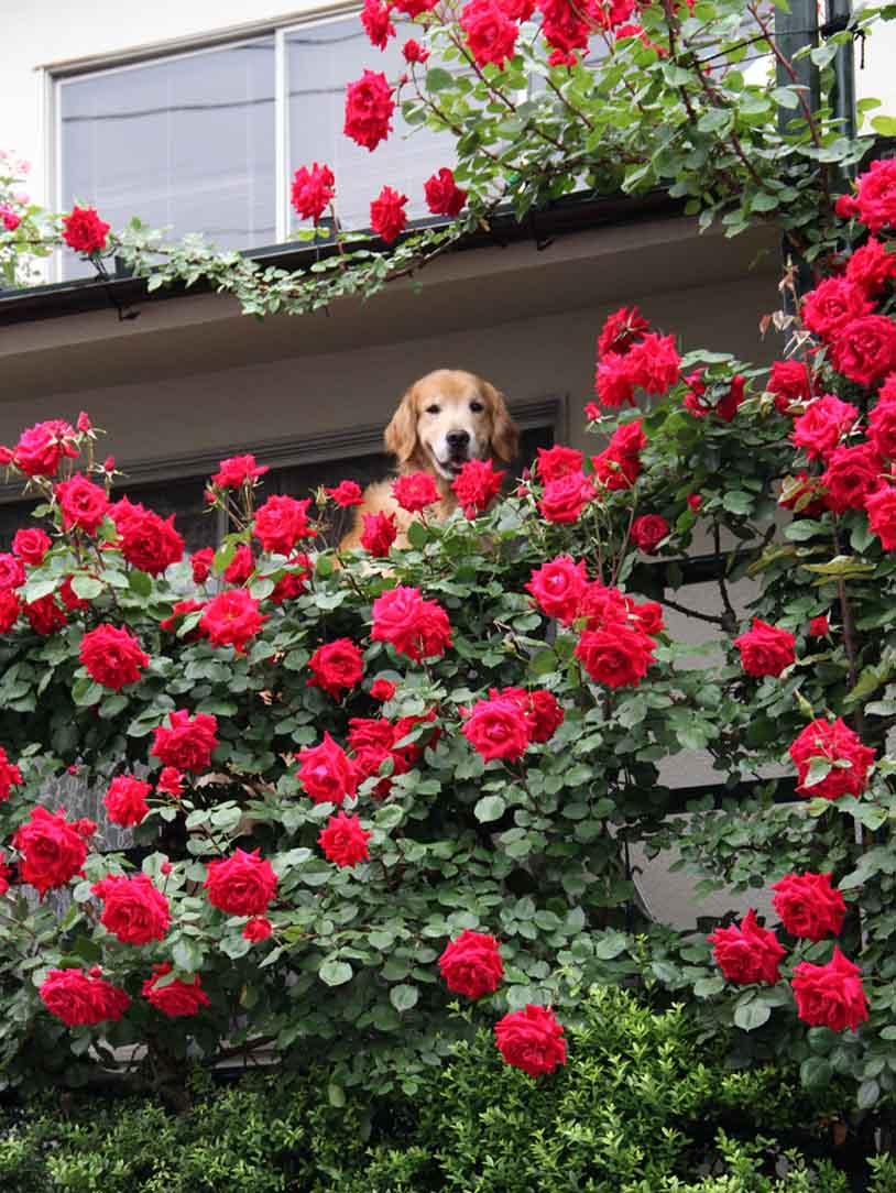 犬とバラの日々(14) 0514