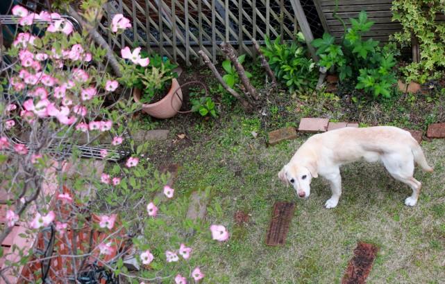 ハナミズキが咲いたよ