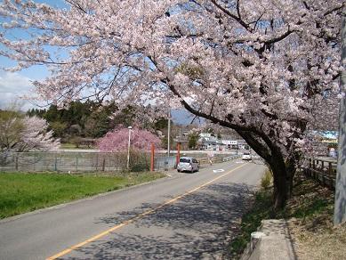 りんどう湖桜