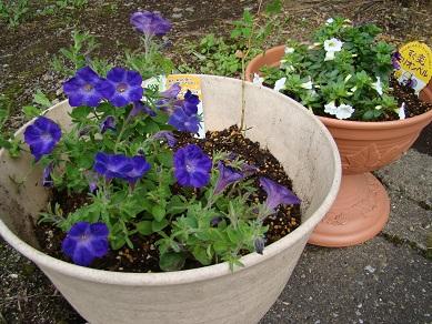 ガーデニング青い花