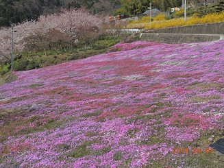 20140927芝桜2