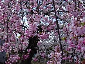 しだれ桜もまけていません!