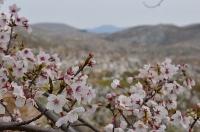満開の桜と秋吉台