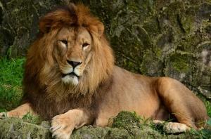 顔を上げたライオン