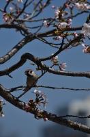 近所の桜とスズメ