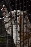 餌を食べるホワイトタイガー
