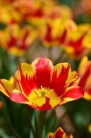 色とりどりのチューリップの花